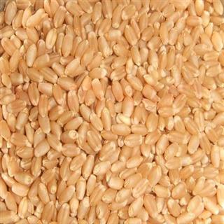 Lokwan Wheat MP Best (5 kg)