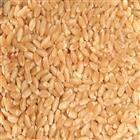 Lokwan Wheat MP Best (1 kg)