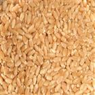 Lokwan Wheat MP Best (10 kg)